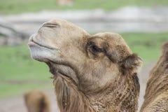 SELVA DA NATUREZA ANIMAL CAMELLO DO CAMELO fotos de stock royalty free