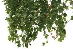 Selva da planta de videira, escalada isolada no fundo branco Trajeto de grampeamento fotografia de stock