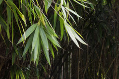 Selva de bambú Imágenes de archivo libres de regalías
