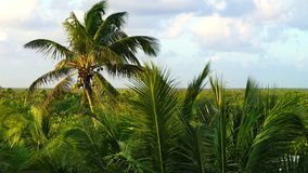 Selva de las palmeras del coco en el Caribe