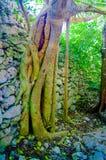 Selva del árbol que se arrastra abajo de la pared Imágenes de archivo libres de regalías