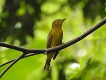Selva del pájaro de Tanagar en el CR de Jaco Imagen de archivo libre de regalías