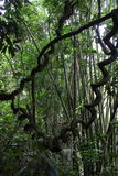 Selva del vid de la selva tropical y de bambú Imagenes de archivo