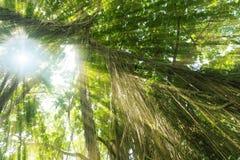 Selva exótica tropical de la selva tropical en la isla de Bali del asiático con el sol Fotografía de archivo