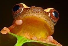 Selva eyed roja del Brasil el Amazonas de la rana de árbol imagenes de archivo