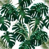 selva Matorrales verdes de hojas de palma y del monstera tropicales Modelo floral inconsútil Aislado en un fondo blanco Imagenes de archivo