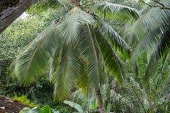 selva Palma de coco Imagem de Stock Royalty Free