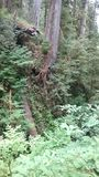Selva tropical de Quinault Imagen de archivo