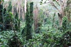 Selva tropical hawaiana Foto de archivo libre de regalías