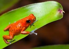 Selva tropical roja de Panamá de la rana del dardo del veneno Imagen de archivo