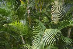 Selva tropical verde da fronda da palma Foto de Stock Royalty Free