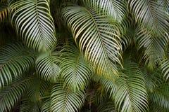 Selva tropical verde da fronda da palma Imagem de Stock Royalty Free