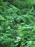 Selva virgen de la Columbia Británica Imagen de archivo