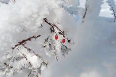 Selvagem aumentou no gelo 3 fotos de stock royalty free