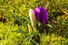 Selvagem-crescimento bonito açafrão violeta e branco Fotos de Stock