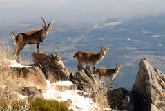 Selvagem masculino nas montanhas de Gredos, Avila, Fotos de Stock Royalty Free