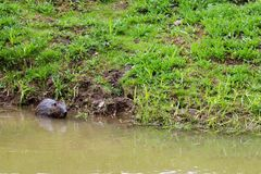 Selvagem molhado de Brown com dentes afiados e comum barato aquático do castor da grande cauda, o roedor flutua em uma lagoa, um  imagem de stock