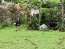 selvagem seu habitat bonito dos estes avestruz em um biopark fotografia de stock