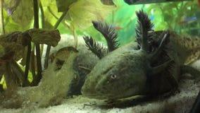 Selvagem-tipo axolotl Imagens de Stock