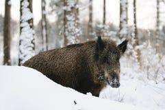 Selvagem-varrão Imagens de Stock Royalty Free