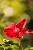 Selvagem vermelho levantou-se Imagem de Stock Royalty Free
