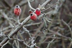 Selvaggio è aumentato in primo piano dell'inverno Fotografia Stock