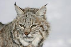 selvaggio alto vicino del gatto selvatico Immagine Stock