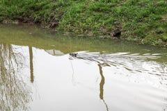 Selvaggio bagnato di Brown con i denti taglienti e l'ordinario acquatico del castoro della grande coda, il roditore galleggia in  immagini stock