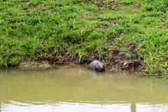 Selvaggio bagnato di Brown con i denti taglienti e l'ordinario acquatico del castoro della grande coda, il roditore galleggia in  immagine stock libera da diritti