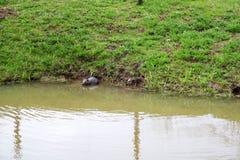 Selvaggio bagnato di Brown con i denti taglienti e l'ordinario acquatico del castoro della grande coda, il roditore galleggia in  fotografia stock libera da diritti