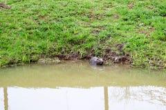 Selvaggio bagnato di Brown con i denti taglienti e l'ordinario acquatico del castoro della grande coda, il roditore galleggia in  immagini stock libere da diritti