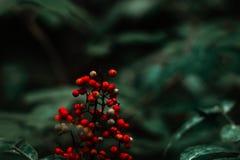 ` Selvaggio s della bacca in foresta scura fotografie stock