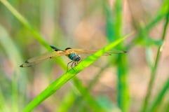 Selys Dragonfly Zdjęcia Stock
