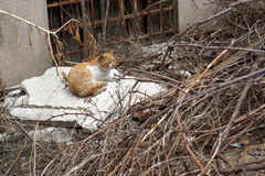 Sem abrigo, gato disperso alaranjado que encontra-se em um quintal abandonado Fotos de Stock