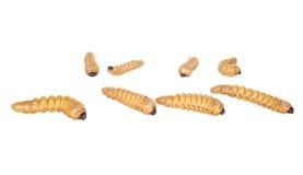Sem-fim da larva foto de stock
