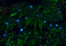 Sem-fim de fulgor surpreendente do waitomo nas cavernas, situadas em Nova Zelândia fotografia de stock royalty free