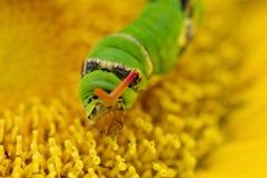 Sem-fim de Swallowtail imagens de stock
