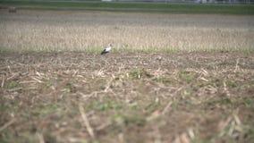 Sem-fins da colheita da cegonha branca em um campo video estoque