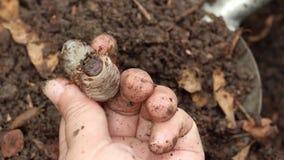 Sem-fins da larva ou besouro de rinoceronte para crescer no solo no fazendeiro das m?os f?meas que jardinagem da agricultura Inse vídeos de arquivo