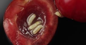Sem-fins do fruto na cereja podre, fundo preto Larva de moscas da cereja closeup vídeos de arquivo