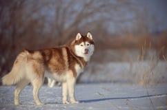 Sem redução vermelho e branco do cão do cão de puxar trenós Siberian no campo do prado da neve Fotos de Stock Royalty Free