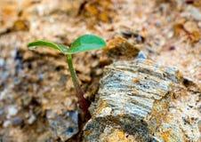 Semant la pousse sur le sol de montagne rocheuse Image stock