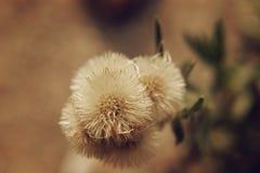 Semblable à la fleur de pissenlit Image stock
