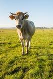 Sembler curieusement la vache brun clair de la fin Image libre de droits
