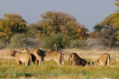 Sembler de famille de lion curieux, nationalpark d'etosha, Namibie Photo stock
