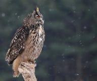 Sembler l'Eagle-hibou eurasien Photo stock