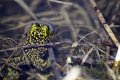 Semblez la grenouille partie Photographie stock
