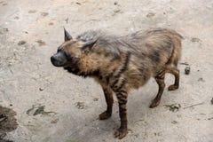 Semblez le hyaena à-rayé en avant Photo stock