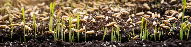 Sembrando y plantando las semillas y los brotes del germen en suelo Imagenes de archivo