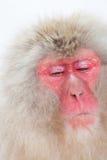 Scimmia giapponese della neve con il fronte serio Fotografia Stock